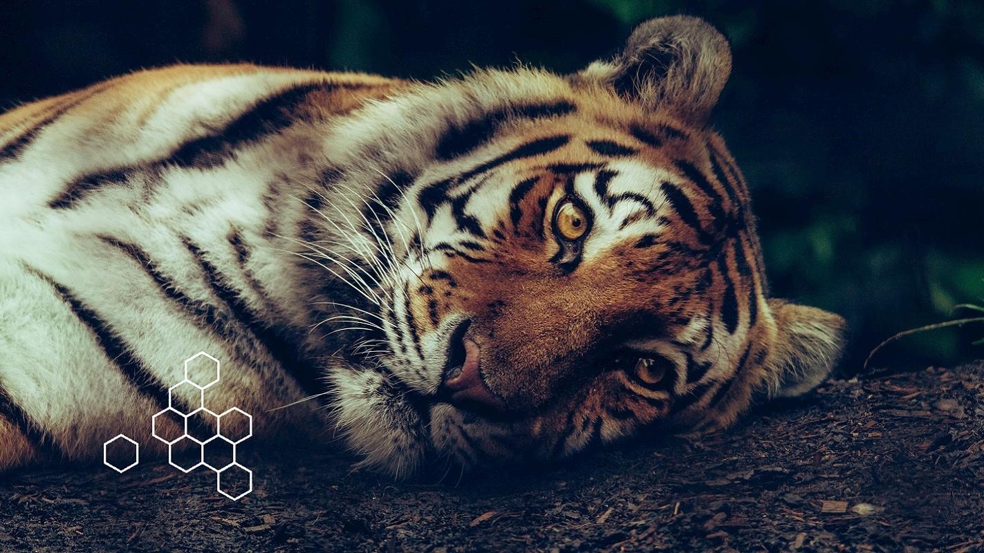 Wie KI hilft, den Tiger zu schützen